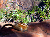 Chipmunk on Sandstone in Zion
