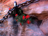 Indian Paintbrush and Chain in Sandstone