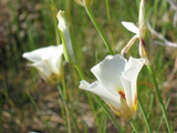 Sego Lily on Kolob